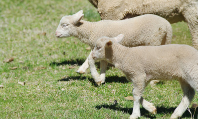 young lambs on the farm