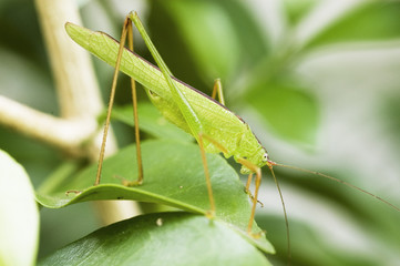 Grasshopper on the leaf