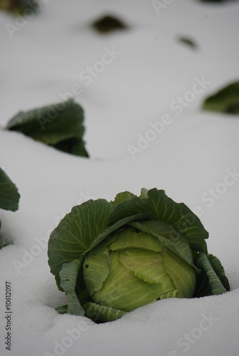 snow cabbage