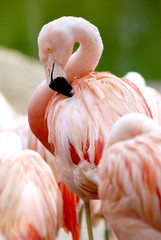 Flamant rose du Chili