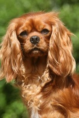 portrait du cavalier king charles adulte