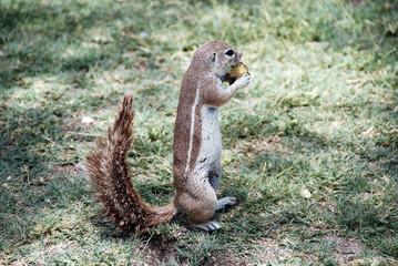 namibia - scoiattolo
