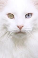 norvegien aux yeux verts et bleus vu de près