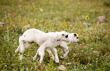 Two cute playful little lambs on meadow