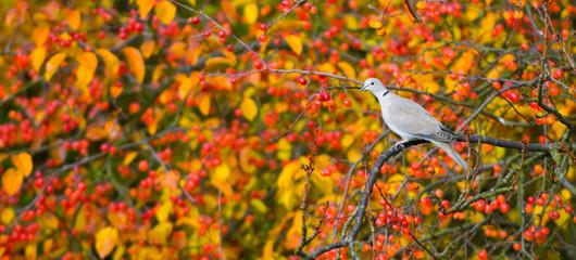 Tourterelle à l'automne