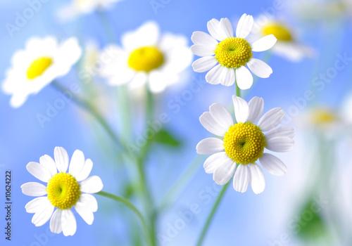 Foto op Canvas Madeliefjes sanfte natur - blühende kamillenblüten