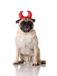 pug dog with devil ears