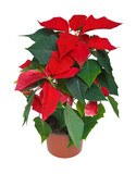 Poinsettia potted cutout poster
