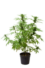 Plant de cannabis en pot
