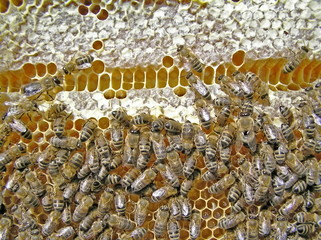 Table of contents of bees. Deformation of honeycombs.