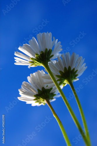 daisy under blue sky