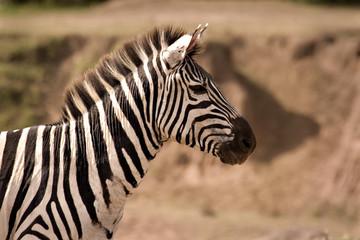 Zebra looking alert