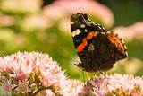 Red Admiral on sedum poster