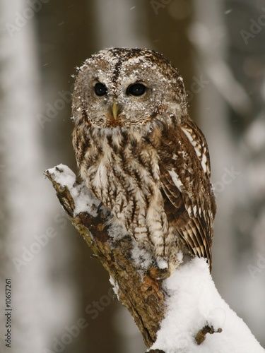 Staande foto Uil Tawny owl in the forest while snowing