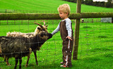 Three year old boy strokes some goats on a farm. poster