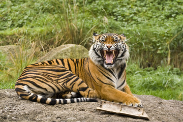 Growling Sumatran Tiger