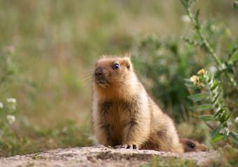 Young steppe marmot sits near a hole
