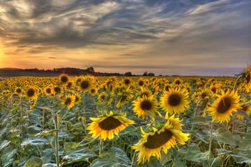 Fields of Gold  -Sunflowers