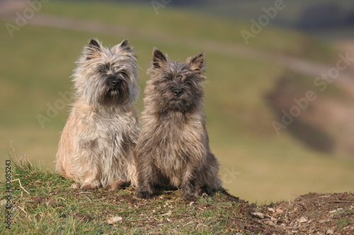 couple de cairn terrier à la campagne
