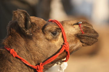 Camel with a bloody nose