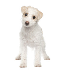 puppy Mixed-Breed Dog between maltese dog and a jack russel (5 m
