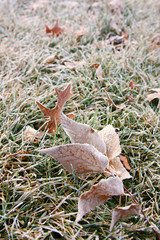 Frosted leaves in the grass