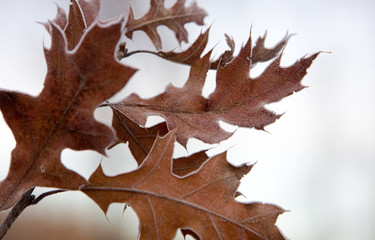 Winter Frosted Leaves