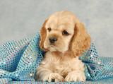 adorable american cocker spaniel puppy under blue blanket poster