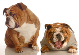 annoyed dog with hurt feelings turns away as another dog poster