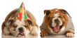 one english bulldog laughing at another wearing birthday hat