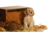 cocker spaniel puppy sitting in colorful autumn leaves poster