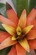 roleta: Bromeliads
