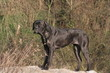 Le Cane Corso de profil