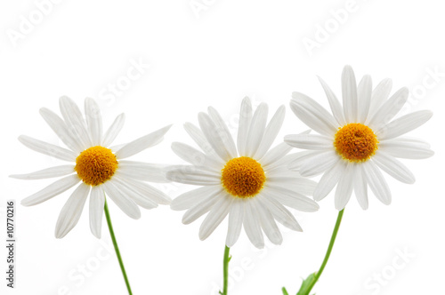 Papiers peints Marguerites Daisies on white background