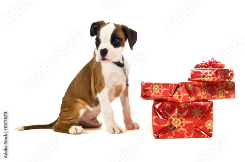 Boxer puppy on a white background with Christmas presents
