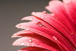 Gerbera closeup water drop