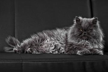 Perserkatze auf der Couch