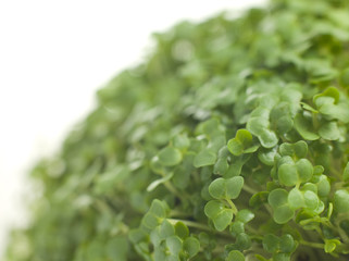 Cress Growing