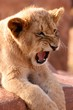 Big Scary King of Africa