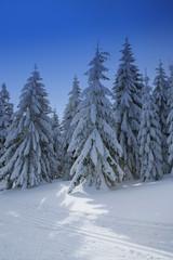 Winterwald mit Fichten und Langlaufloipe