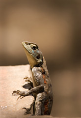 Lizard on a ledge