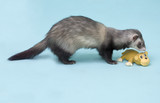 Ferret playing poster