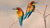 Bee Eater - Gruccione poster