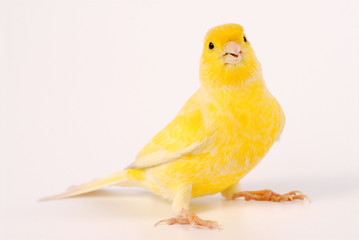 canary isolated on white