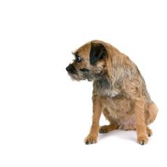 English border terrier