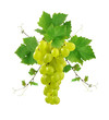 Ornamental grape with leaves