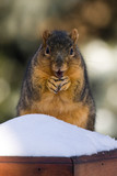 Overweight Fox Squirrel  Eating A Nut poster