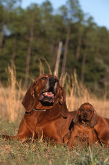 Maman Redbone Coonhound et son adorable petit