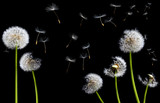 silhouettes of dandelions - 10866622