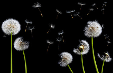 silhouettes of dandelions